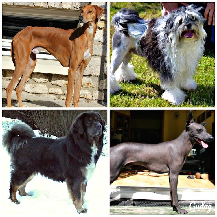 10 races de chiens rares que l 39 on ne croise pas tous les jours gublog - Croisement chien insolite ...