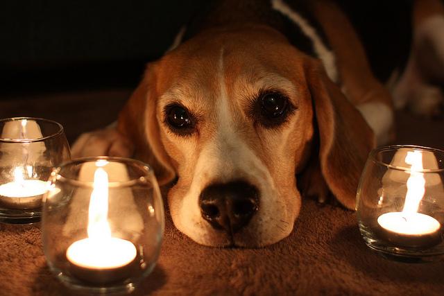 noël sans danger chien bougies