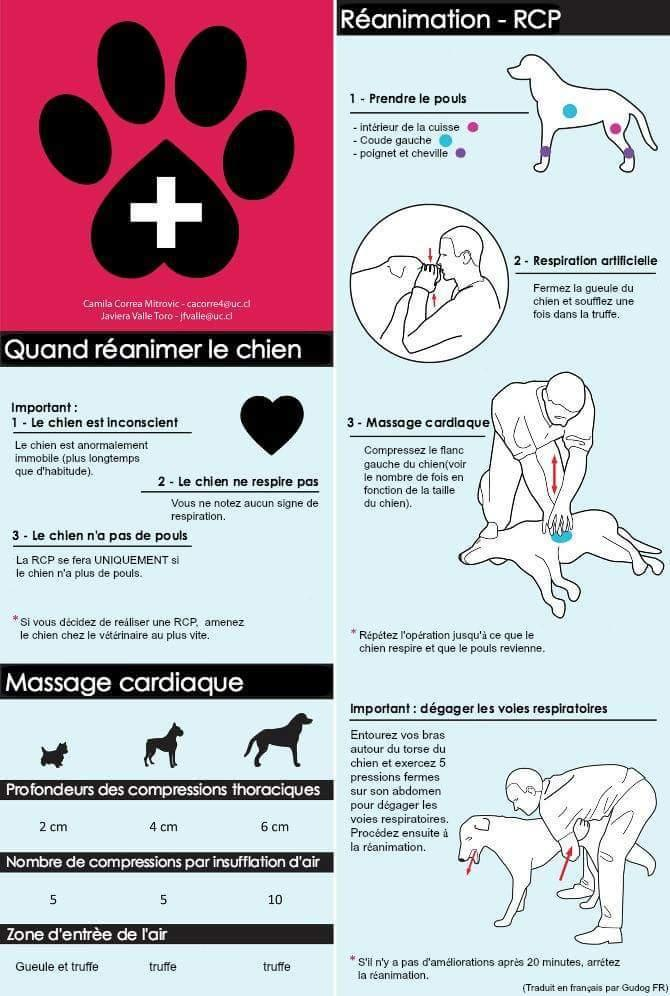 Gestes de premiers secours RPC chien