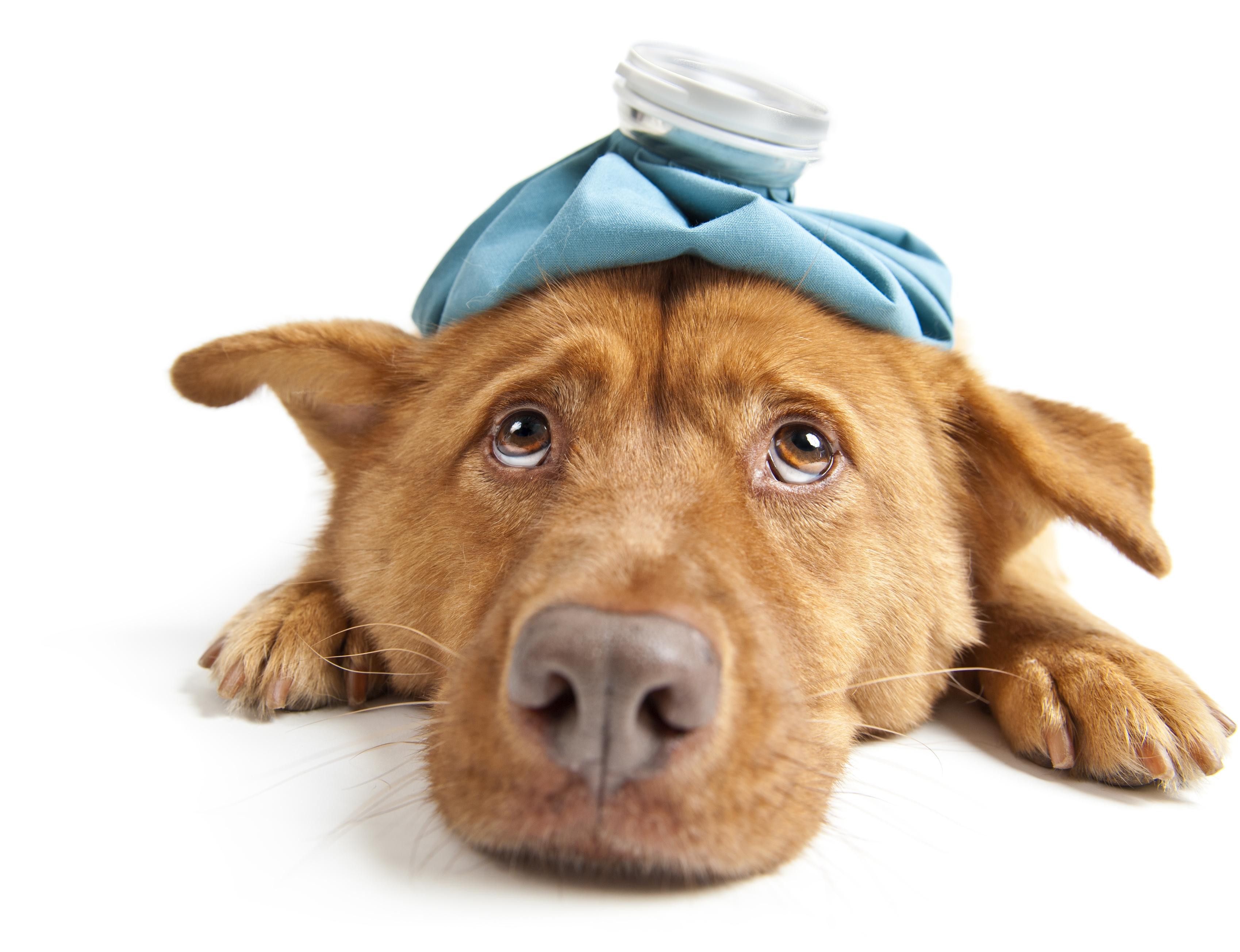 gestes premier secours chien