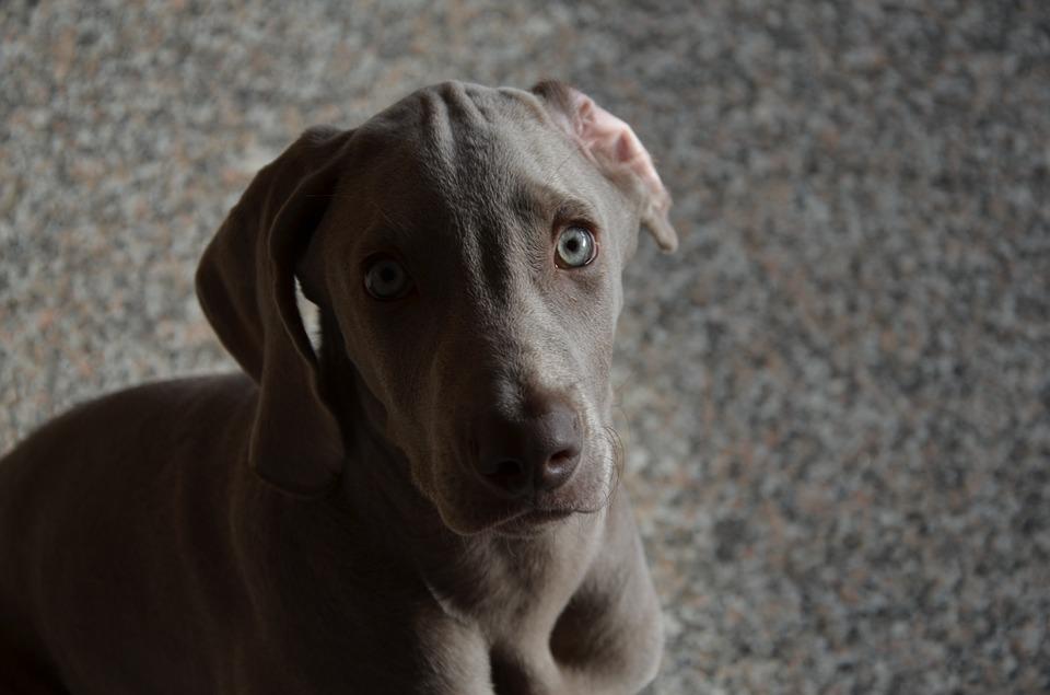 nettoyer oreilles chien