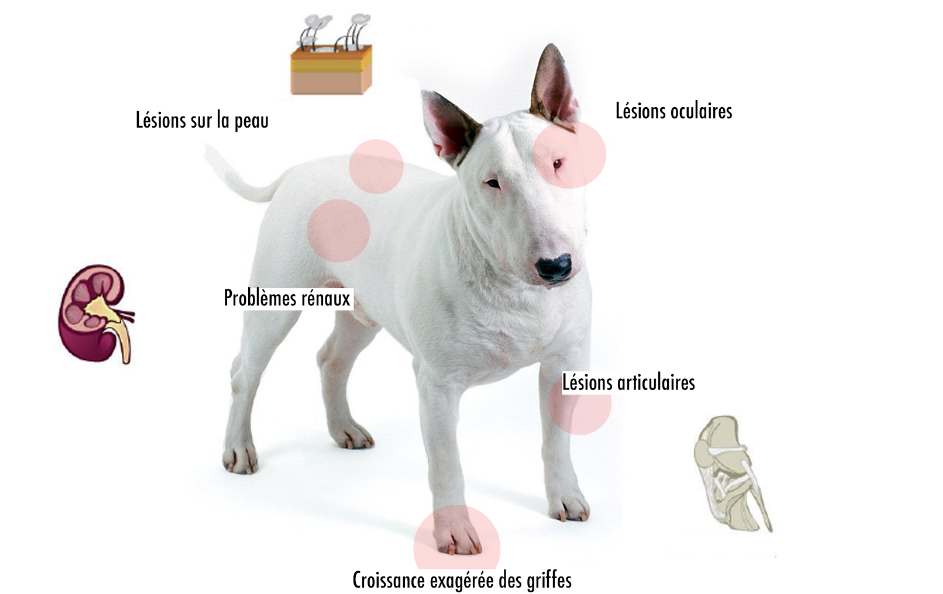 symptomes leishmaniose chien