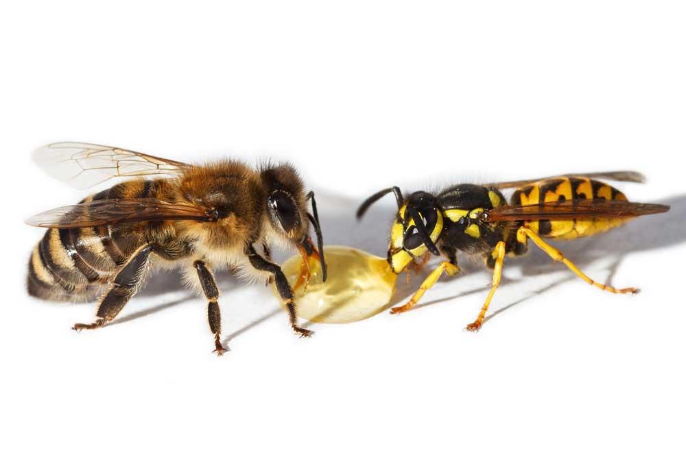 Différences entre une abeille et une guêpe