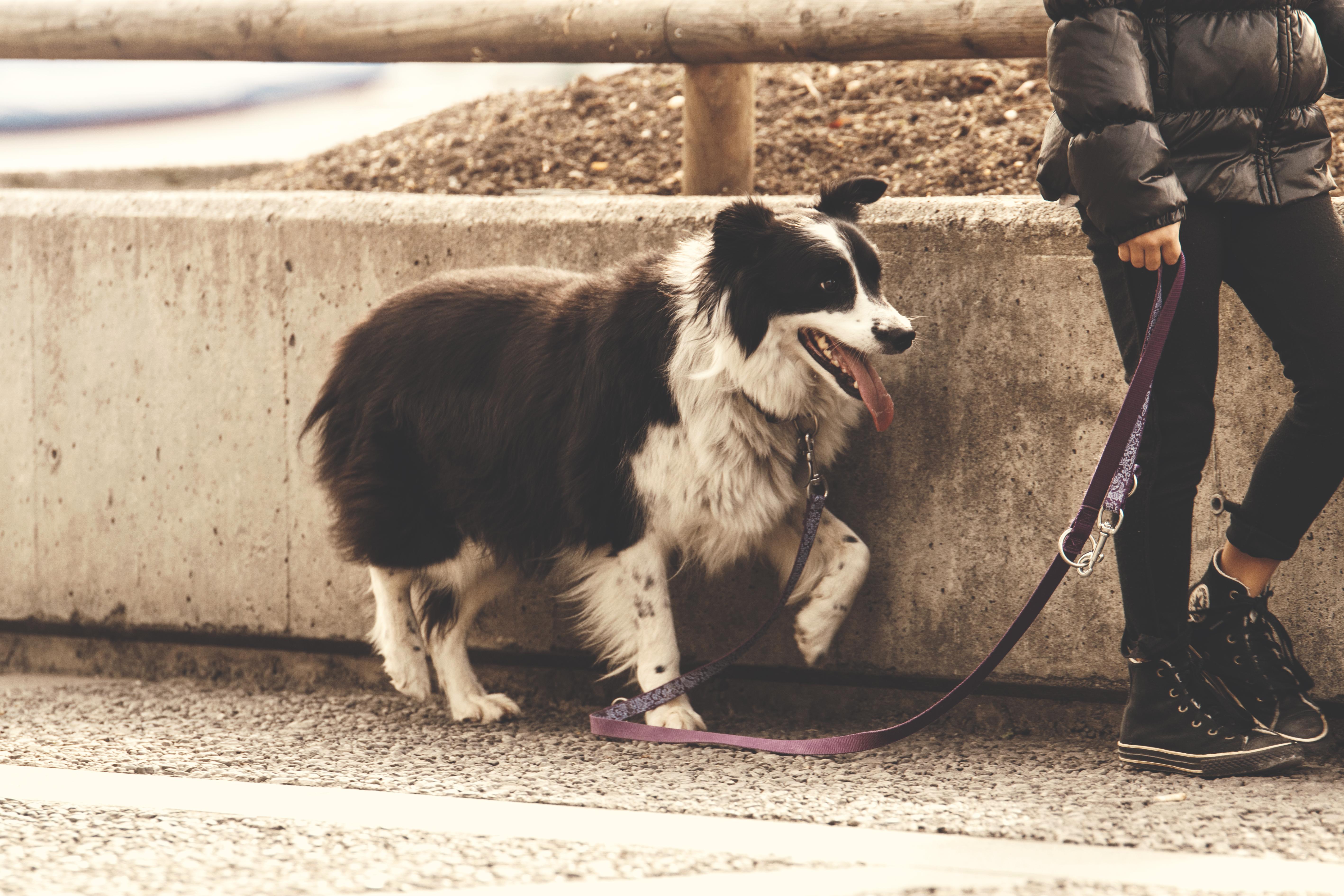 première promenade avec un chien