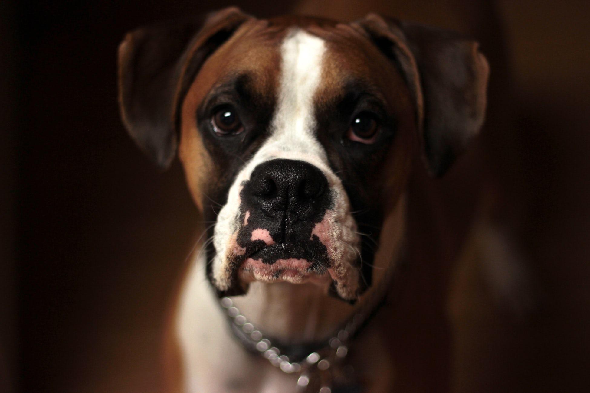 le boxer un chien de race brachycéphale