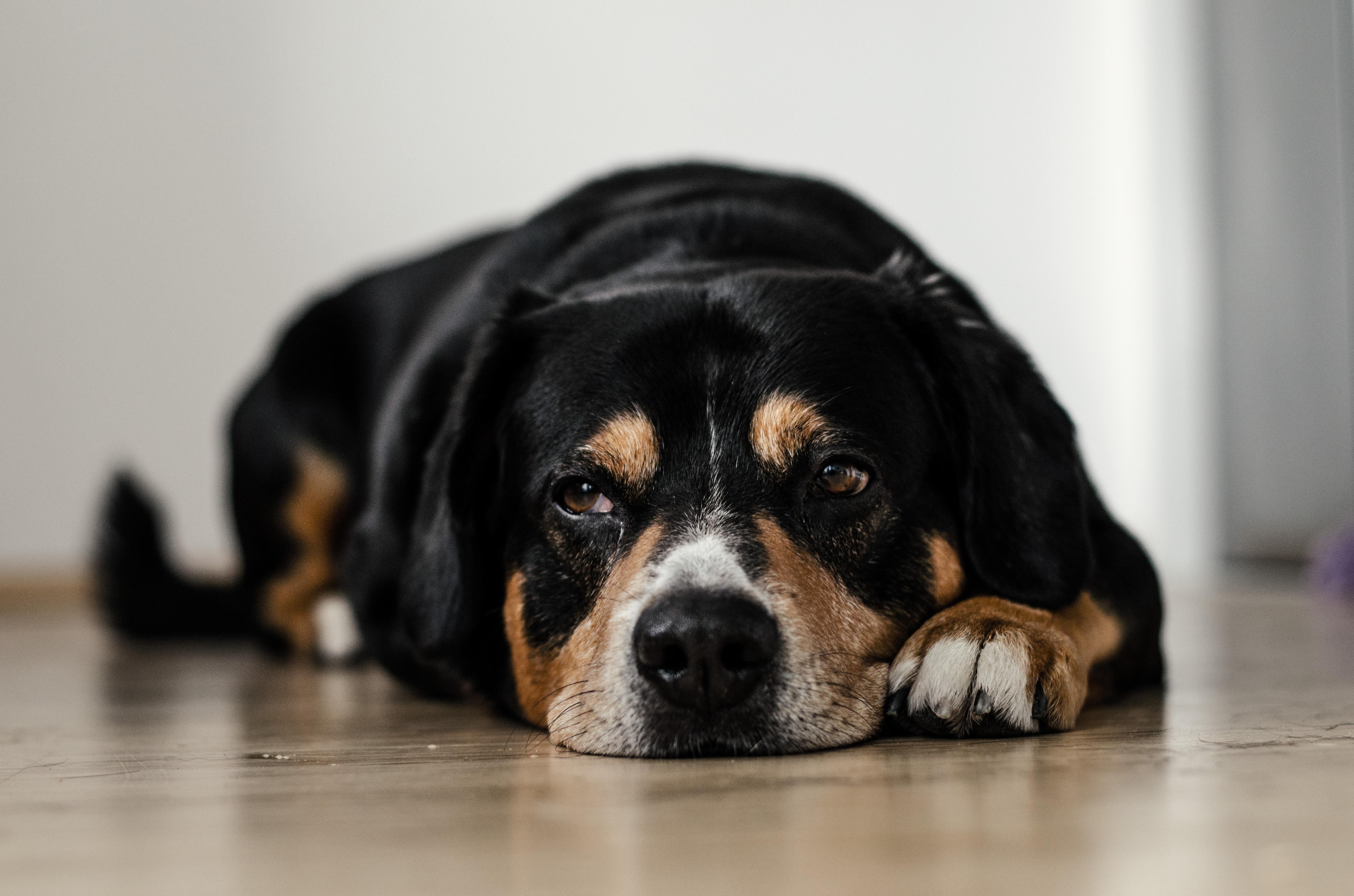 la grippe et le rhume chez le chien