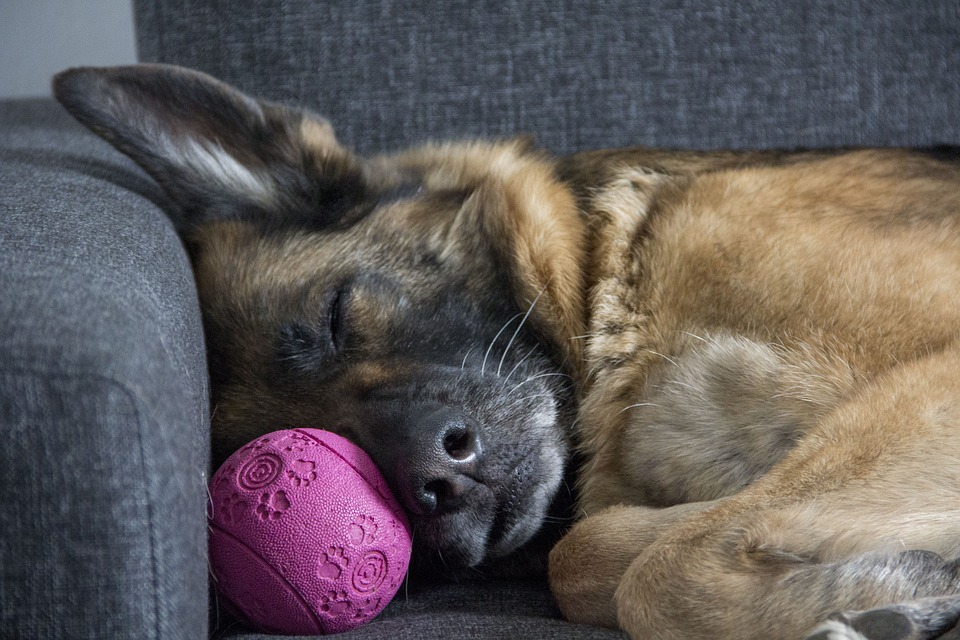 éthologie canine