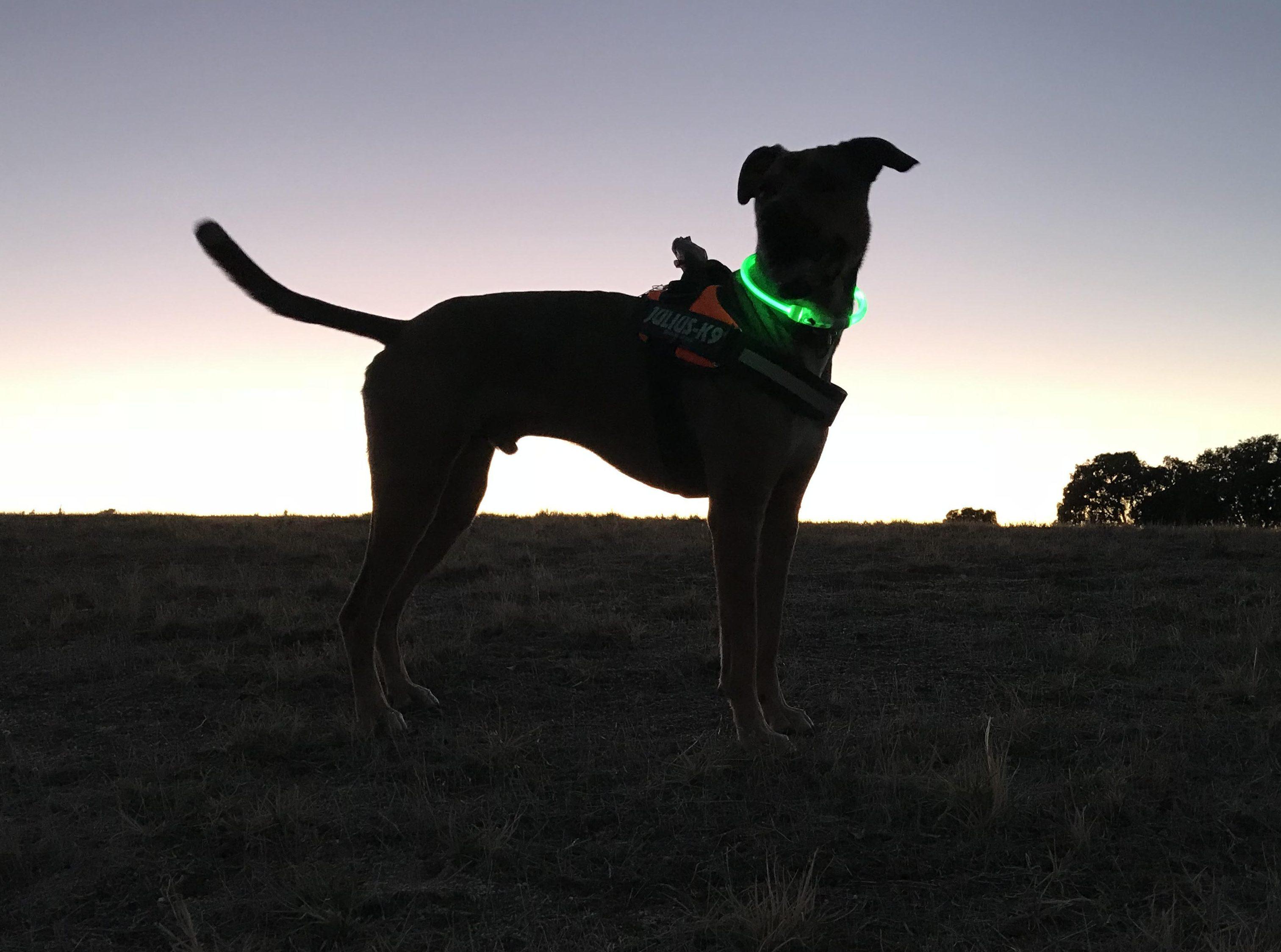 colliers lumineux pour chiens