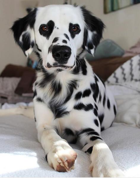 Charlie le dalmatien
