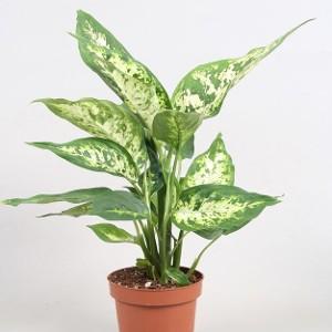 Dieffenbachia plantes toxiques pour les chiens