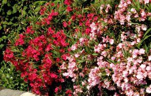laurel de flor plantas tóxicas para los perros