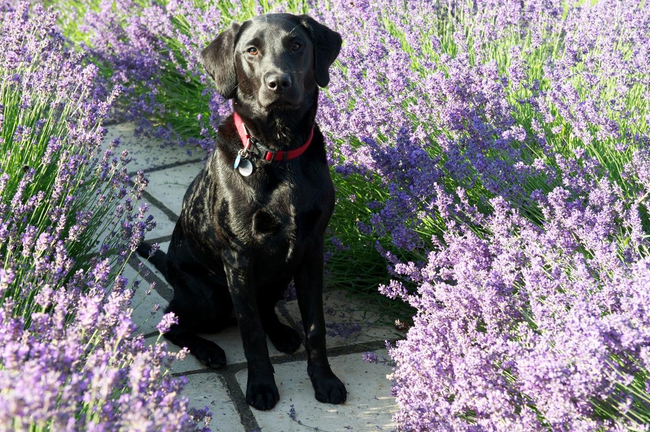 remèdes naturels pour chiens