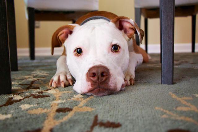 chien quémande à table