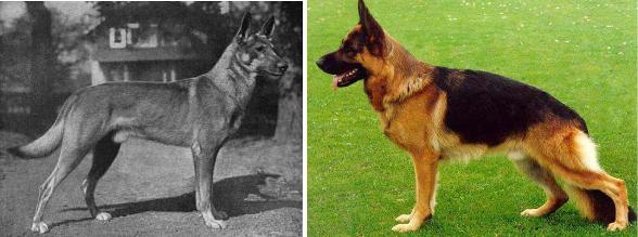 berger allemand races de chiens