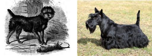 terrier écossais races de chiens