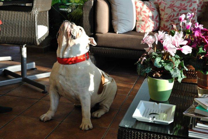 max bulldog dysplasie de la hanche
