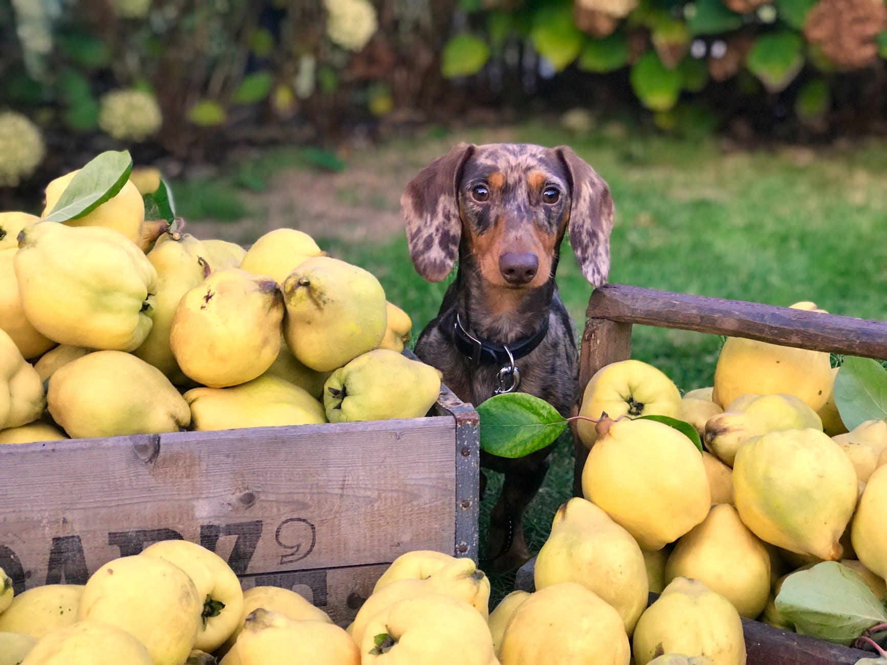 fruits chien