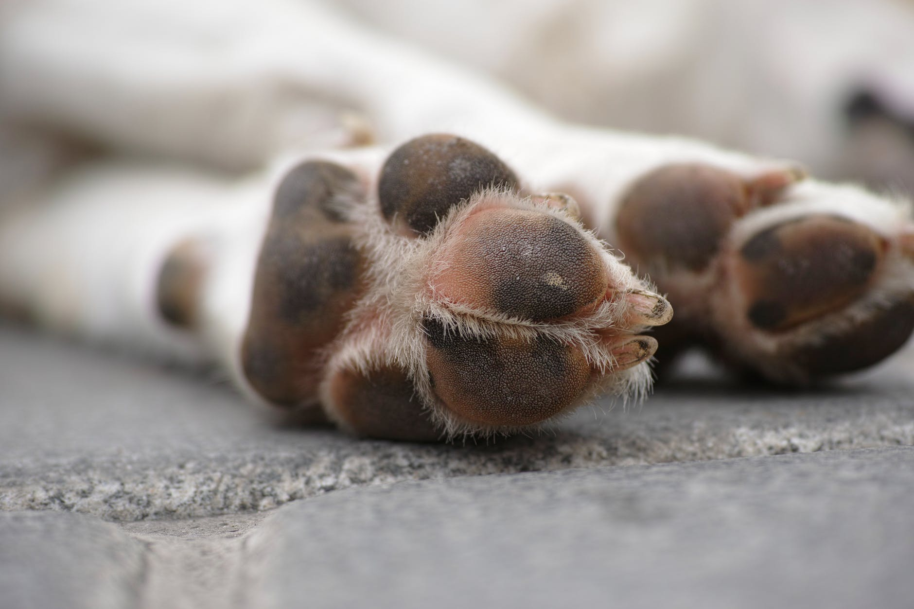 coussinets de chien